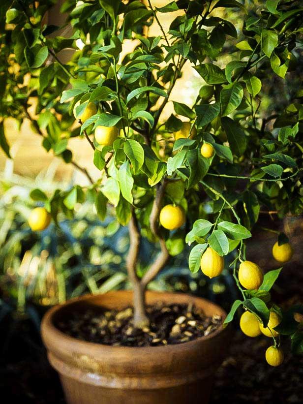 Saksıda Limon Filizlendirme