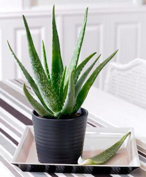 Aloe Vera Nasıl Yetişir? Faydaları Nelerdir?